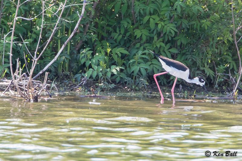 Black-necked Stilt: Himantopus mexicanus, Ontario, Tilbury--Sewage Lagoons