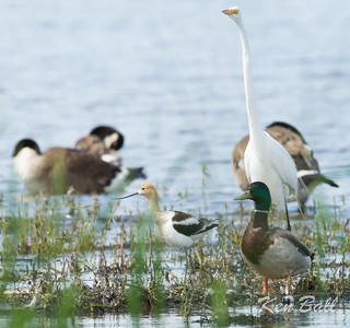 American avocet: Recurvirostra americana, Pinecrest Creek, Ottawa. Size comparison with Mallard, Canada Goose and Great Egret