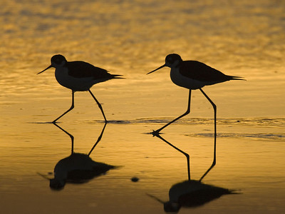 Black Necked Stilt Silhouttes - 1/15/2006 - Shollenberger Park, Petaluma, California