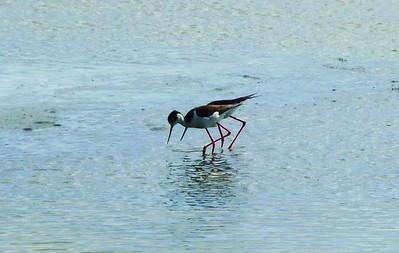 Black-necked Stilt Pair