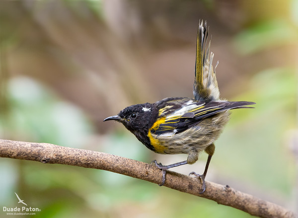 Hihi/Stitchbird - Male