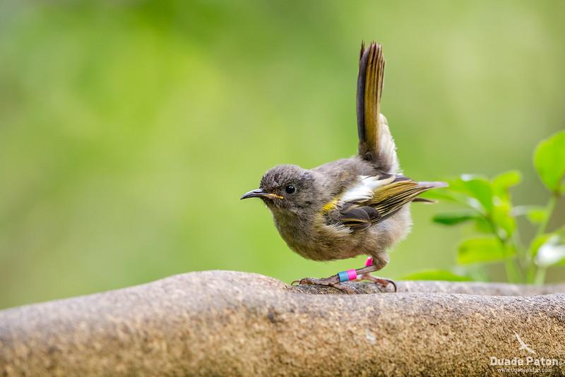 Stitchbird/hihi VU (NZ) - Female