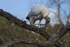 Wood Stork (b2266)