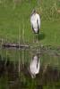 Wood Stork (b2269