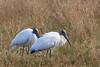 Wood Stork (b2265)