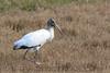 Wood Stork (b2261)