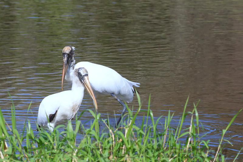 Wood Stork (b2268