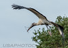 Wood Stork (b2260)