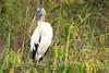 Wood Stork (b2262)