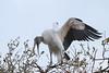 Wood Stork (b2264)