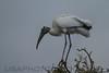 Wood Stork (b2263)