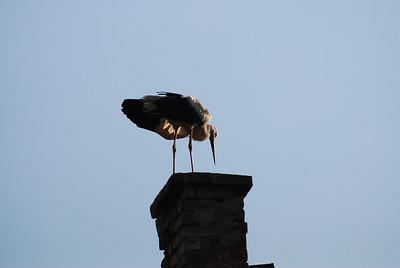 Storks in Bulgaria