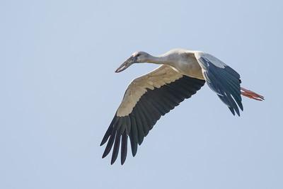 Asian Openbill in flight - Near Koradi, Nagpur, India