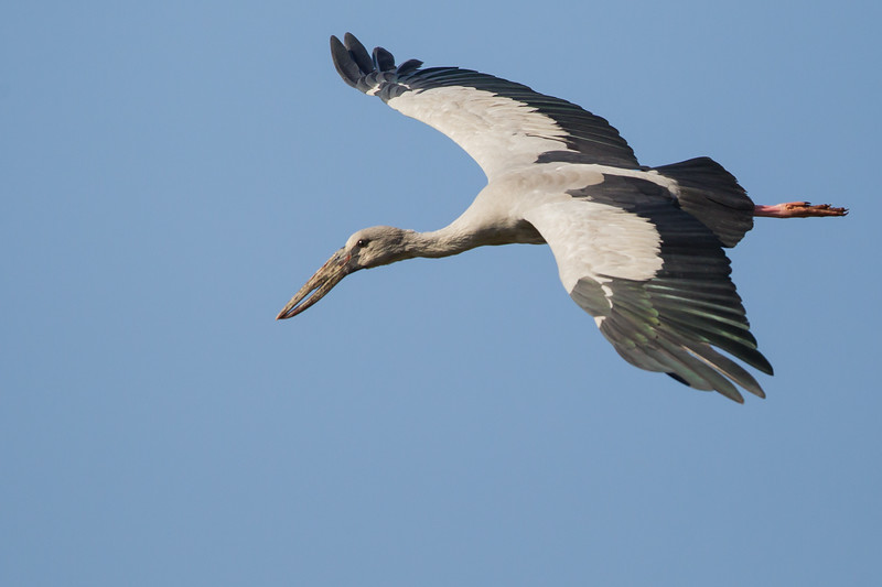Asian Openbill in flight - Near Koradi, Nagpur, India