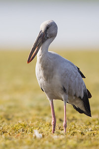 Asian Openbill - Near Koradi, Nagpur, India