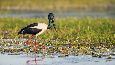 Black-necked Stork_David Stowe_4686
