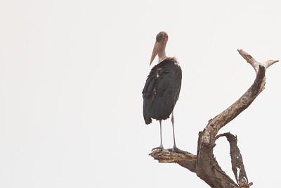 Marabou Stork - Tarangire National Park, Tanzania