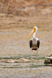 Painted Stork - Kutch, Gujrat, India