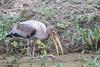 Painted Stork - Record - Sultanpur Bird Sanctuary, Haryana, India