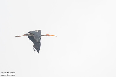 Painted Stork - Record - Sultanpur Bird Sanctuary, Haryana, India
