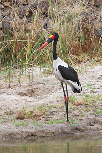 Saddle-billed Stork - Tarangire National Park, Tanzania