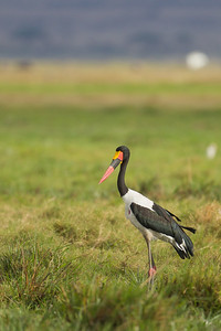 Saddle-billed Stork - Amboseli National Park, Kenya