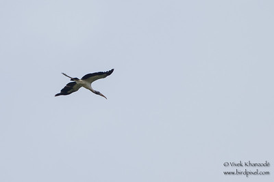Wood Stork - Record - Oxbow lake near Tambo Blanquillo Lodge, Peru