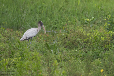 Wood Stork - Record - Crooked Tree, Belize
