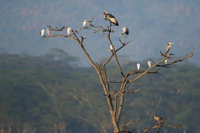 5 species on a tree - Lake Nakuru Naional Park, Kenya