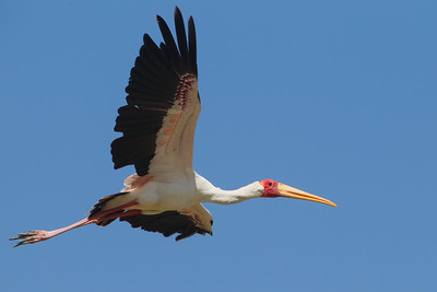 Yellow-billed Stork - Lake Nakuru National Park, Kenya