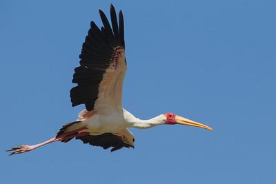 Yellow-billed Stork - Lake Nakuru National Park, Kenya