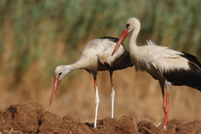 white stork חסידה לבנה