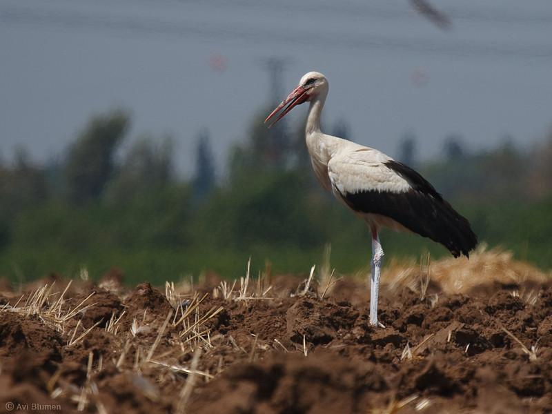 white stork חסידה לבנה<br /> on a hot summer noon בצהרי יום קיץ