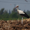 white stork חסידה לבנה<br /> on a hot summer noon בצהרי יום קיץ
