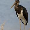 black stork - juvenile חסידה שחורה - צעירה