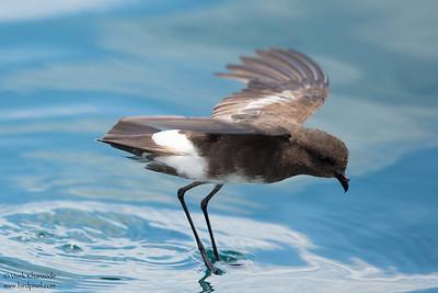 Elliot's Storm-Petrel - Near Punta Espinosa, Isla Fernandina, Galapagos, Ecuador