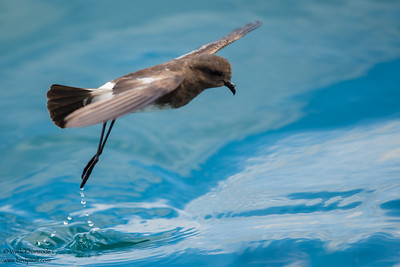 Elliot's Storm-Petrel -  Galapagos, Ecuador