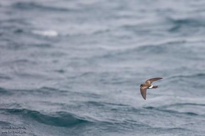 White-vented Storm-Petrel - Galapagos, Ecuador