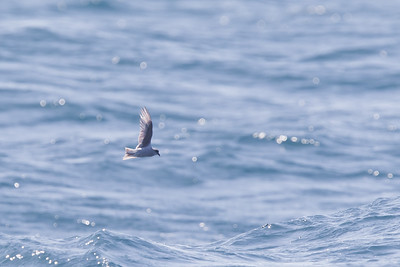 Fork-tailed Storm-Petrel - Off Half Moon Bay, CA