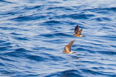 Wedge-rumped Storm-Petrel - Near Playa Negra, Isla Marchena, Galapagos, Ecuador