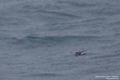 Wilson's Storm Petrel - Antarctica