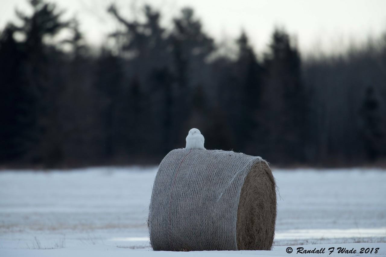Snowy Owl On A Roll