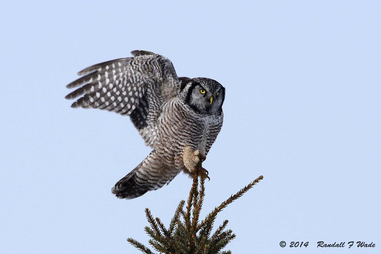 Northern Hawk Owl