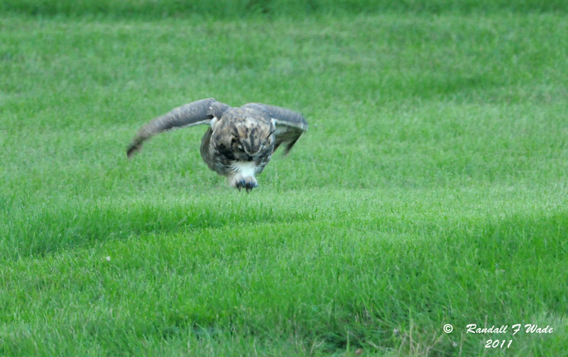 Pouncing Great Horned Owl