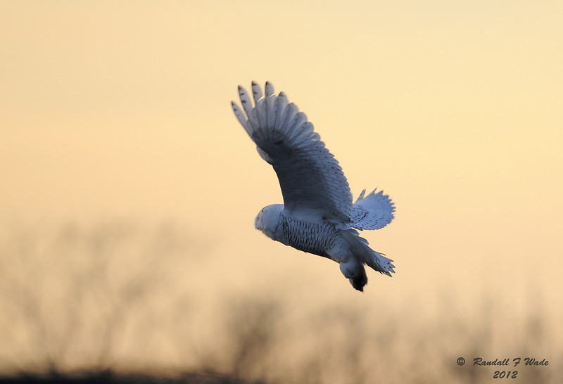 Snowy Owl Flying Into Sunset