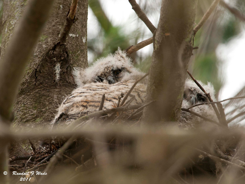 Great Horned Owls in Nest