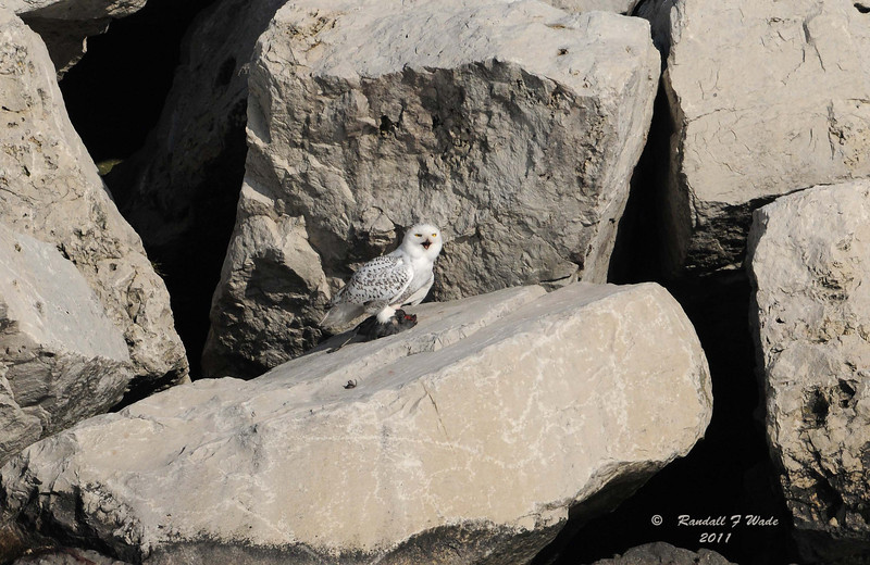 Snowy Owl and Coot