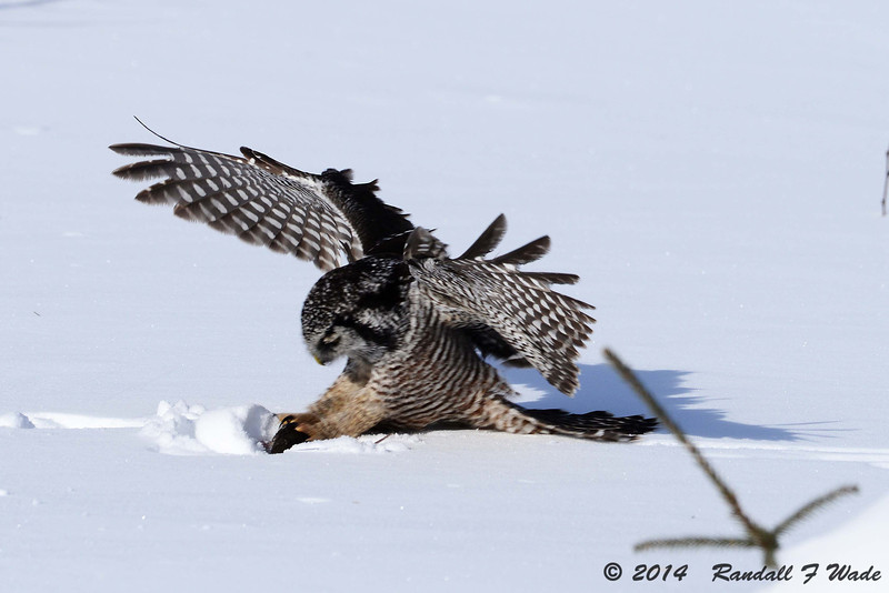 Pouncing Northern Hawk Owl