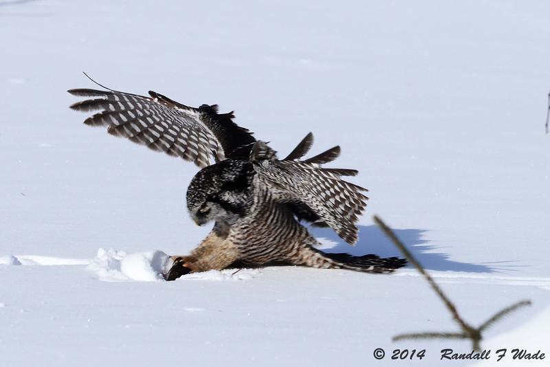 Pouncing Northern Hawk Owl