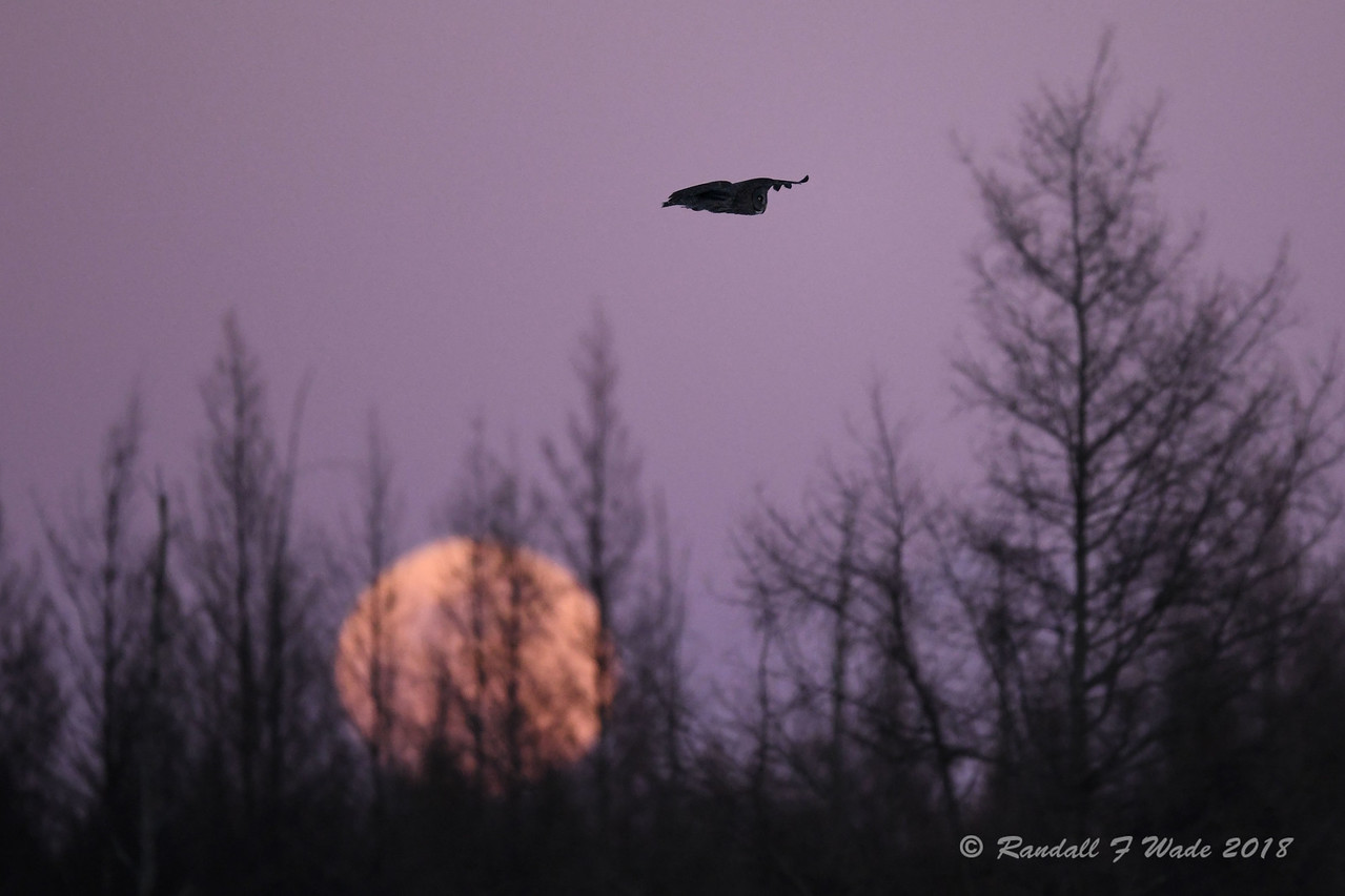 Moonrise And Great Gray Owl